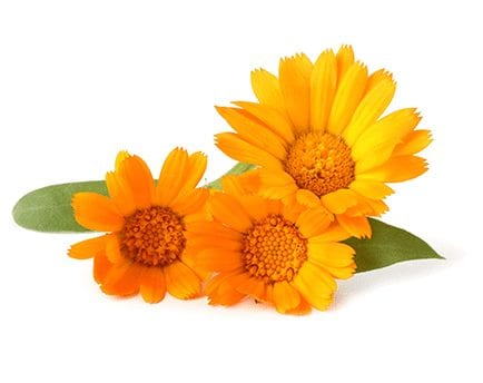 Calendula Flower Ingredient